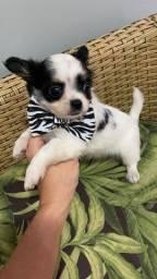 Chihuahua. Belos rapazes de pelagem longa liberados!!!