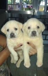 Labrador casal