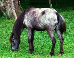 Cavalo ardo