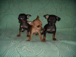 Pinscher .micro-macho e fêmea- Chocolate, Preto ou Caramelo
