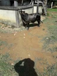 Venda de um casal de bovinos.Raça MiniVaca