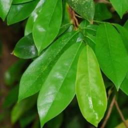 Folhas Verdes de Graviola