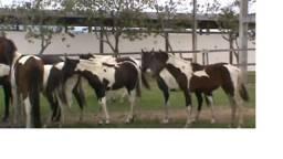 Venda de cavalos permanente a partir de 2500 reais