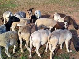 Vendo ovelhas dorper.
