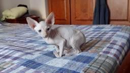Título do anúncio: Filhote Sphynx, gato sem pelo