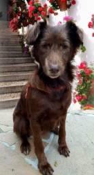 Doação linda cachorra marrron peluda castradinha