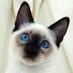 Adoto gata siamêsa filhote