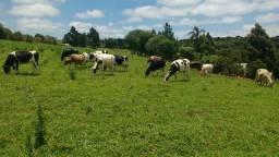 Vendo lote 30 vacas leiteiras gersey e holanda em guarapuava