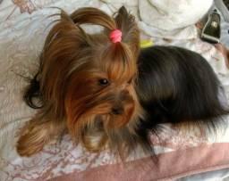 Filhotes de yorkshire terrier para reserva