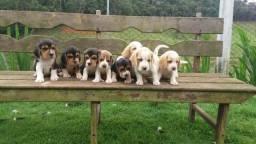 Filhotes de Beagle Inglês-Cuiaba/MT
