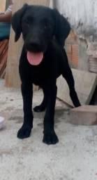 Labrador pura raça