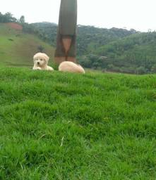 São Luís/MA Golden Retriever Disponíveis