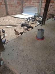 Título do anúncio: Frangos e frangas,  60 aves à venda