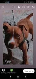 Título do anúncio: Filhote de Pitbull Red Nose Puro