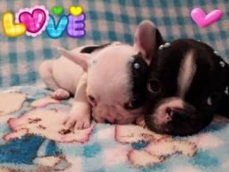 Bulldog Francês - lindos filhotes !