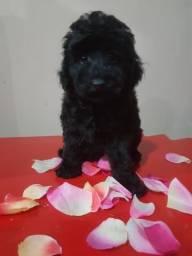 Poodle toy com pedigree
