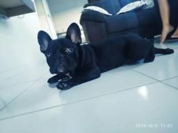 Bull dog frances