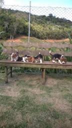 São Luís/MA Filhotes de Beagle Inglês