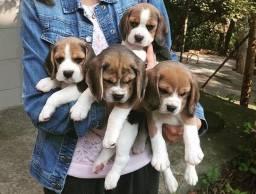 Beagle Filhote com Pedigre e Garantia de Saúde