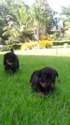 Aracaju-SE Filhotes de Rottweiler