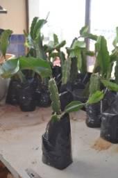 Muda de Pitaya pronta para o plantio