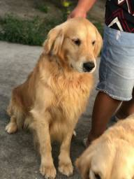 Golden Retriever procura namorada!