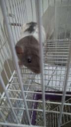 Twister / rato de laboratório