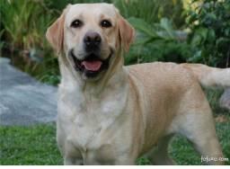 Procuro Labrador retriever( branco )
