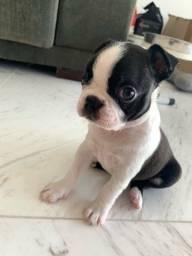 Título do anúncio: Filhotes de Boston Terrier