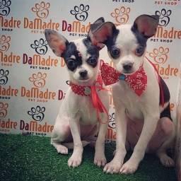 Título do anúncio: Chihuahua para dia Das Crianças