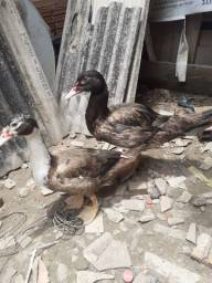 Troco um casal de pato por um casal de picote branco