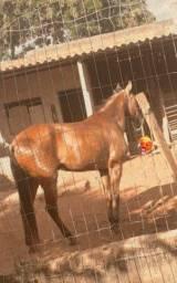 Cavalo CM