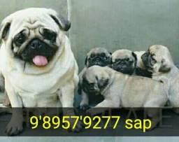 Título do anúncio: Pug com pedigree NABUCOS