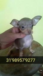 Título do anúncio: Pinscher 00 com pedigree