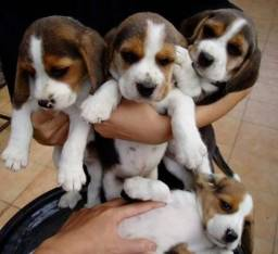 Beagle fêmea com garantia de vida e tamanho em contrato