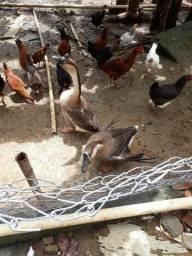 Cisne africano