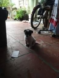 Casal de mini poodle