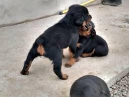 Rottweilers machos disponíveis *vermifugados