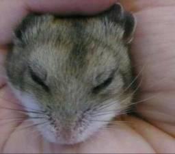 Filhotes de hamster chinês