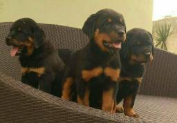 Filhotes de Rottweiler-Fortaleza/CE