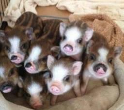 Doação de mini porcos