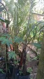 Palmeira triangular 3 metros
