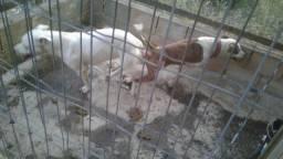Vendo cachorro pitbull American Bully