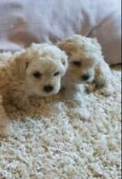 Miniatura linda de poodle Toy