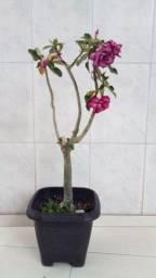 Título do anúncio: Rosa do Deserto
