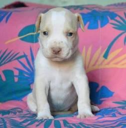 Belos filhotes de Pitbull