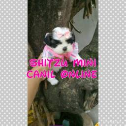 Shitzu mini escolha conosco seu leal amigo