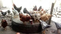 $850, 30 galinhas