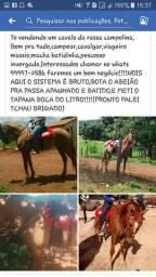 Meio Sangue Campolina