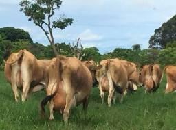 VACA leiteira/GADO leiteiro- Jersey- Especial